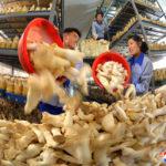 Houbové farmy zvyšují výrobu
