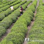Na návšteve čajovej plantáže Undžong